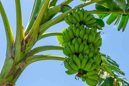 бананан